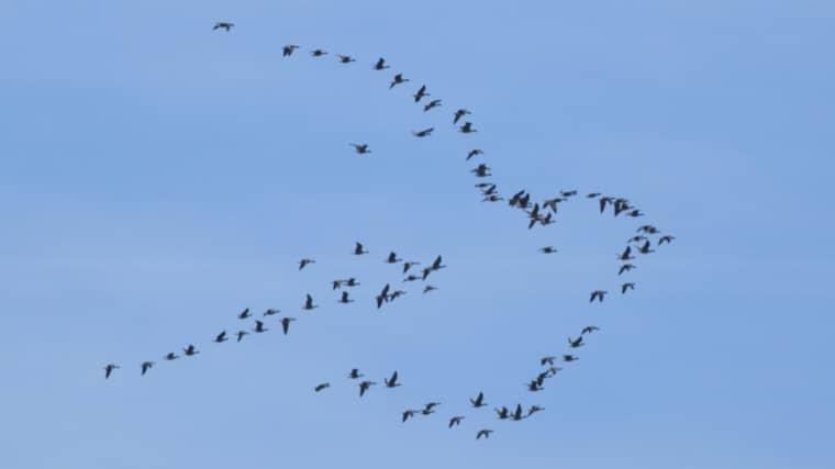 Axel Hagström fotade en flock gäss som flög i mönster – som en fredsduva. Foto: Axel Hagström