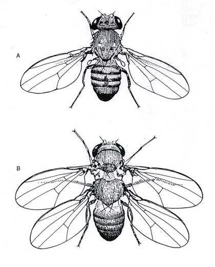"""FRAMODLAT EXEMPEL. Den fyrvingade flugan användes som bevis för evolutionsteorin, men avslöjades som artificiellt framodlad och kan inte ens flyga. """"Försöken att leda evolutionen i bevis har kantats av bedrägerier"""", skriver överläkaren Sture Blomberg."""