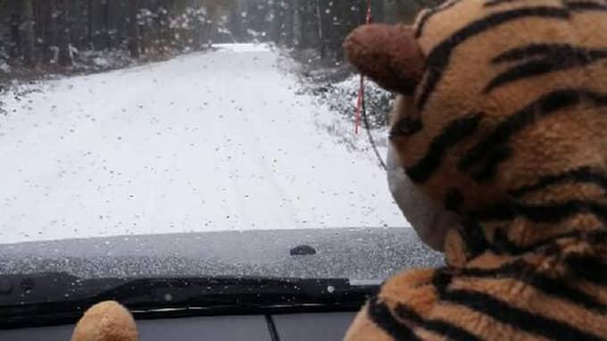 Tiger på väg hem från tvätteriet. Foto: Privat