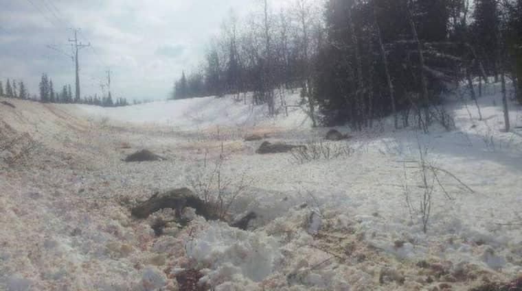 Flera av de 23 renarna blev lemlästade och låg i snön i timmar innan de avlivades.