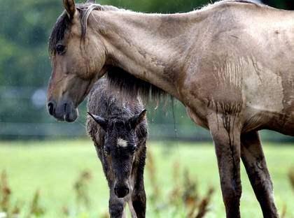 """Nu mår hästarna bra. Men när polisen omhändertog dem i maj var de magra och undernärda. 1 augusti säljs de på polisens auktion. """"Tydligen är vissa av dem riktigt värdefulla"""", säger länsveterinär Lennart Sjölund. Foto: Tomas Leprince"""