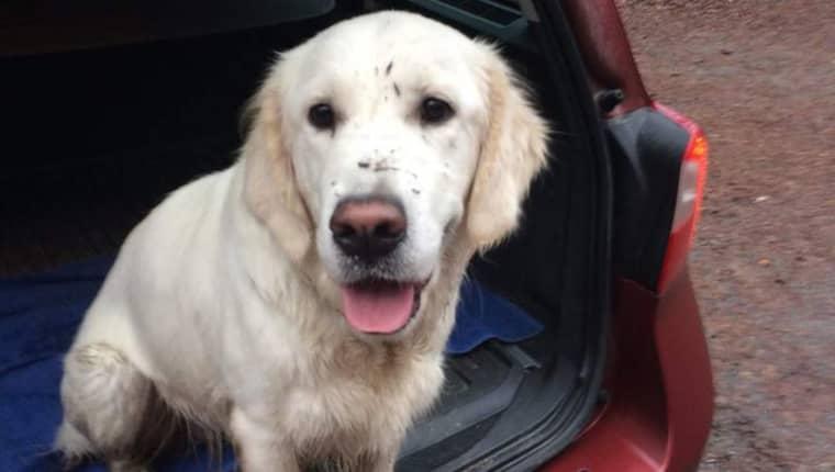Hunden Leia har varit försvunnen sedan nyårsafton. Hon är en nio månader gammal golden retriever. Foto: PRIVAT