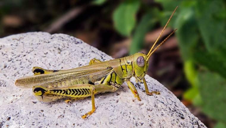 Insekter finns redan på menyn i fyra av fem länder i världen. I Asien, Afrika och Sydamerika höjer få på ögonbrynen över att man tuggar i sig myror och gräshoppor. Foto: Kenneth Keifer