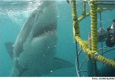 Johan Eliases bestämde sig för att lämna den trygga hajburen och simma fritt med en vithaj. Utan förvarning smög sig plötsligt en annan, sex meter lång haj, upp bakom ryggen på Johan. Min enda tanke var att komma in i buren, berättar Johan.