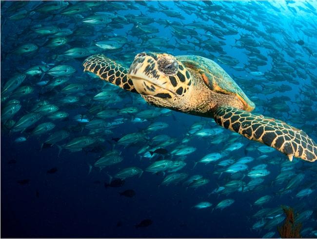 Karettsköldpaddan är akut utrotningshotad.