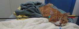 Övergiven katt räddades – hade träffats av pil i huvudet