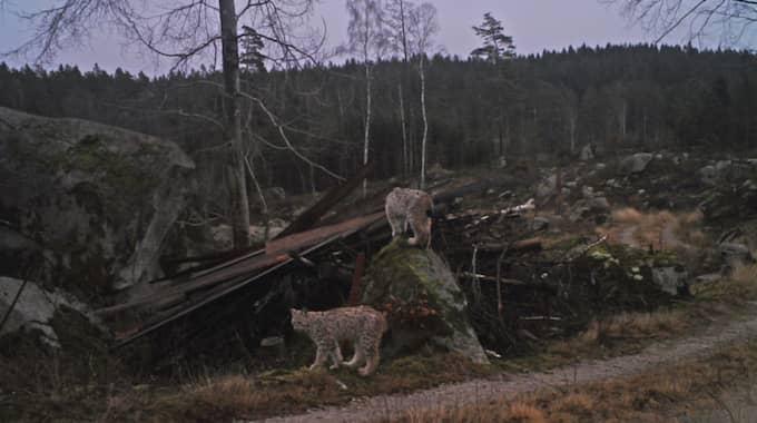 Två av de tre lodjursungarna som har fångats på film av Le Carlsson i Blekinge och setts av 140 000 människor på Facebook. Foto: Le Carlsson