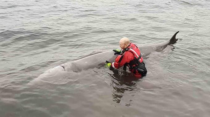 Valen simmade för nära kusten och forskare insåg snabbt att den var sjuk. Foto: SOTRA BRANNVESEN / TT NYHETSBYRÅN