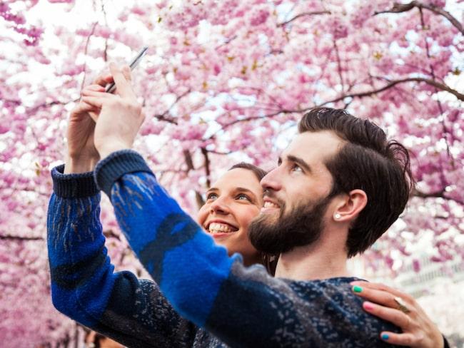 """Körsbärsblommans dag är den 21 april 2018. Då är det event i Kungsträdgården i Stockholm och så få fort blommorna blommar vallfärdar flera tusen människor till """"Kungsan"""" för att njuta av blommorna."""