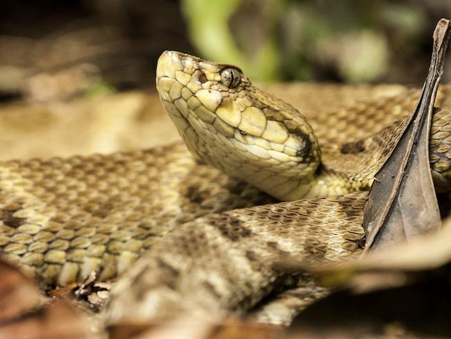 Lansormen står för 90 procent av alla årliga ormbett i Brasilien. Den är släkt med den väldigt giftiga Gyllene lansormen, vars gift är fem gånger starkare.