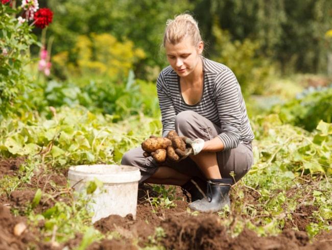 Odla potatis! Det är både roligt och lätt. Börjar du förgro i april har du härliga färskpotatisar lagom till midsommar.