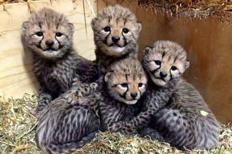 Fyra gepardvalpar finns också att beskåda i djurparken. Foto: Borås Djurpark
