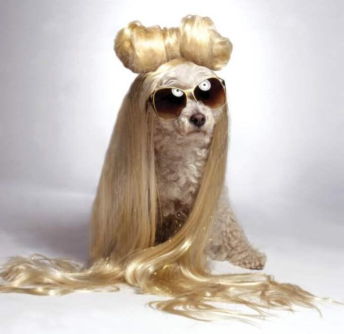Är det Lady Gaga? Eller en pudel? Klicka vidare för fler häftiga bilder på Max! Foto: Lara Jo Regan / Barcroft Media