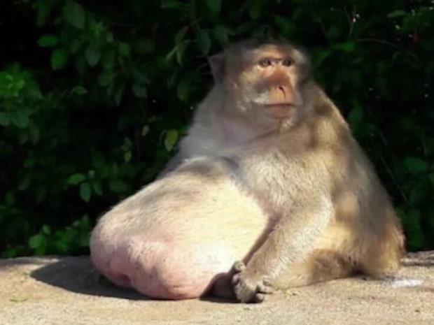 Överviktiga apan åkte in på rehab – släpps fri