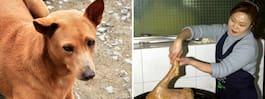 Beslutet: Olagligt att döda hundar för kött