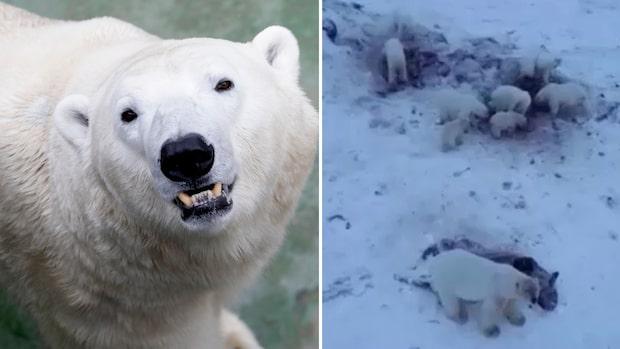Hord av hungriga isbjörnar omringar by –folk vågar inte gå ut