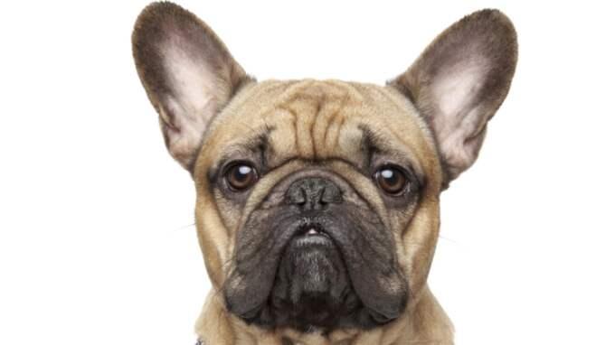 Bulldoggen på bilden har inget samband med bulldoggvalparna som avlivades efter beslaget i tullen.