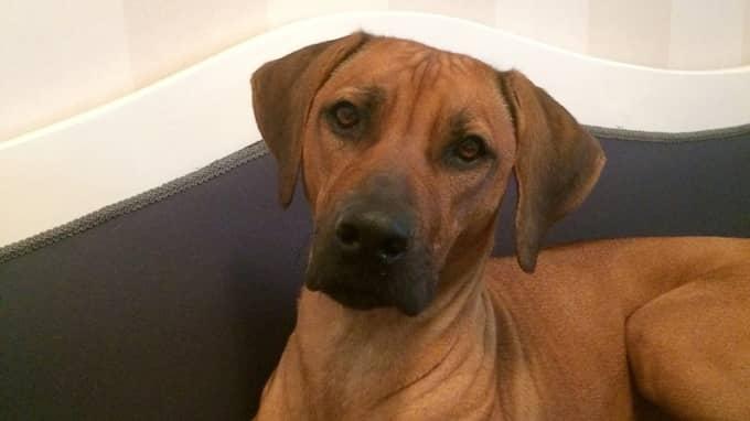 Under rättegången mot Alicia Brangelid Freijs mördare bestämde sig hennes familj för att köpa en hund. Nu är Cenja en älskad familjemedlem. Foto: Privat