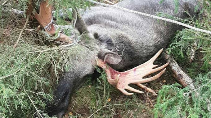Älgen fick avlivas av jägare. Foto: Jerker Johansson