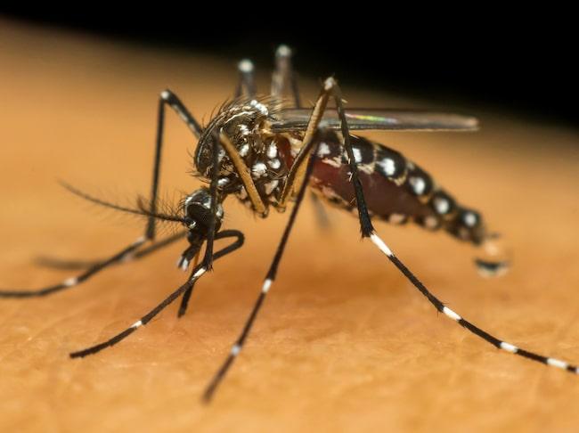 Denguefebern orsakas av ett virus som sprids via myggor i tropiska och subtropiska områden.