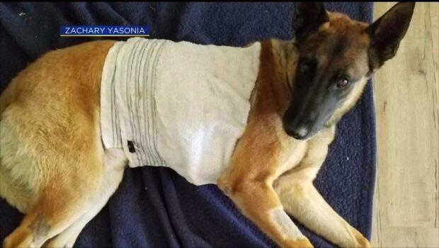 Polisinsatsen fick en otäck vändning när hunden Reno knivhöggs