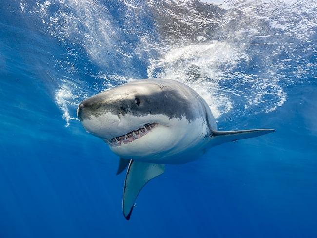 Vithajen är världens största rovfisk, och den tredje största hajarten.