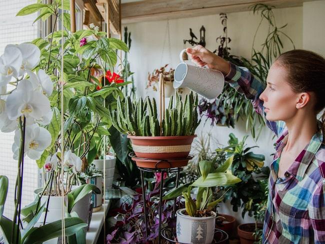 Krukväxter är vackra och får oss att må bra – men det gäller att komma ihåg att vattna.