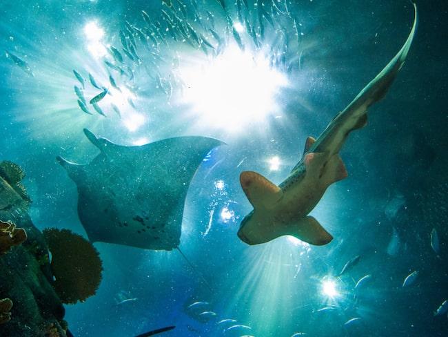 Spökhajen är egentligen ingen haj, men är besläktad med både hajar och rockor.