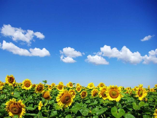 Solros är en vacker blomma. Men den bär på en hemlighet som du kanske inte vet om. Den består inte bara av en blomma, utan av 1 000-2 000 unika blommor.