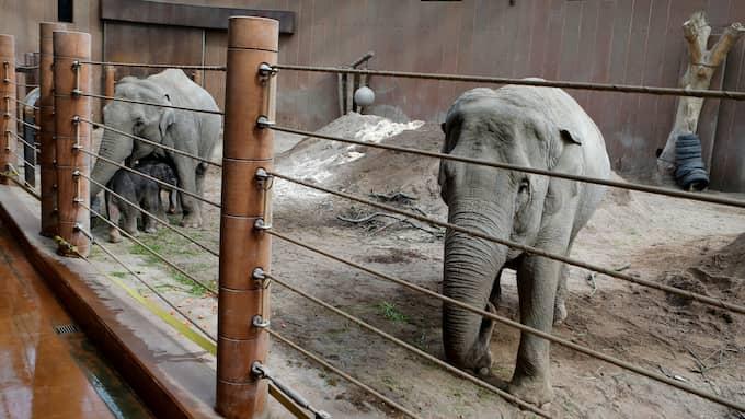 Den lille elefanten är i tryggt sällskap, omgiven av sin mamma och en moster. Foto: Köpenhamn Zoo