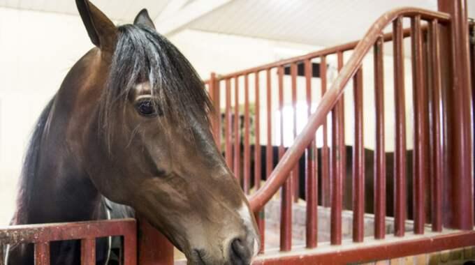 Just nu härjar en livsfarlig hästsjukdom i Västsverige. Hästen på bilden har inget med sjukdomen att göra. Foto: Petter Arvidson