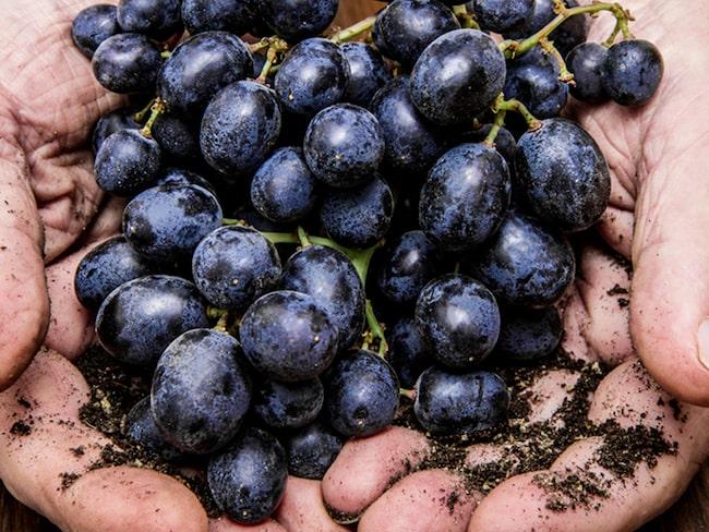 Naturvin blir ett allt vanligare begrepp - men vad är egentligen naturvin?