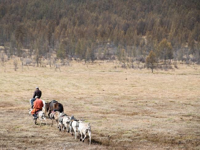 Flera herdar i den norra delen av landet har öppnat upp sina hem för turister.