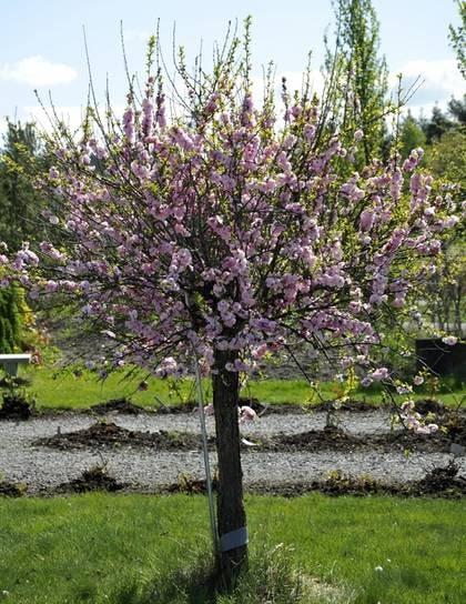 små träd trädgård