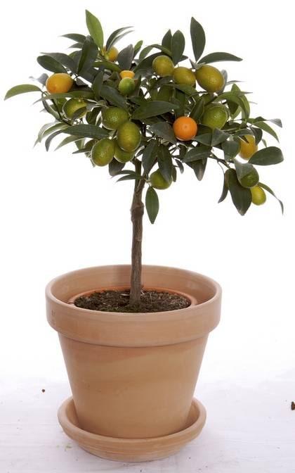 Små citroner gula. Citrusträd cirka 299 kronor, terrakottakruka, cirka 30 kronor, Blomsterlandet.