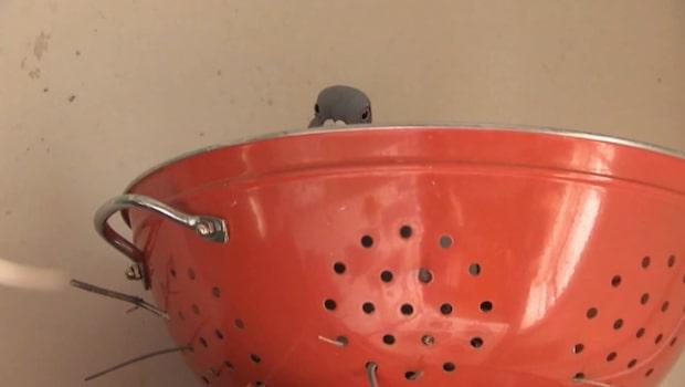 Bortrest i två månader - då flyttade duvan in för att ruva sina ägg