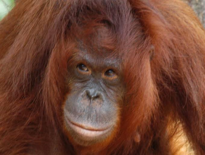 Orangutang. Foto: Lone Dröscher Nielsen