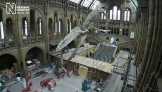 Världens största djur i fokus på naturhistoriska i London