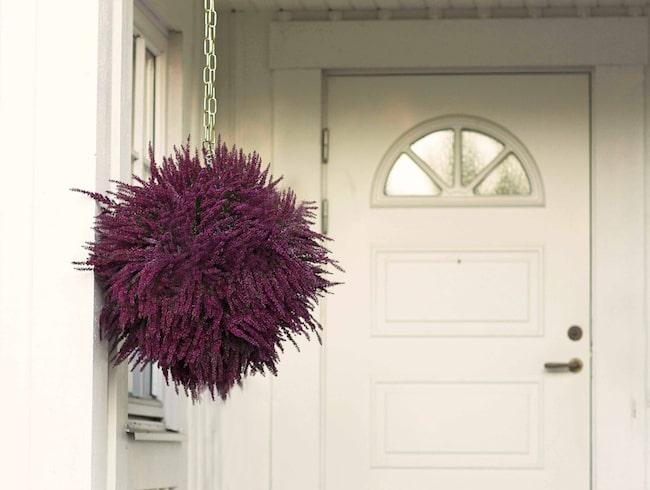 En ljungboll är enkel att göra och blir en vacker dekoration som lyser upp i höstmörkret.