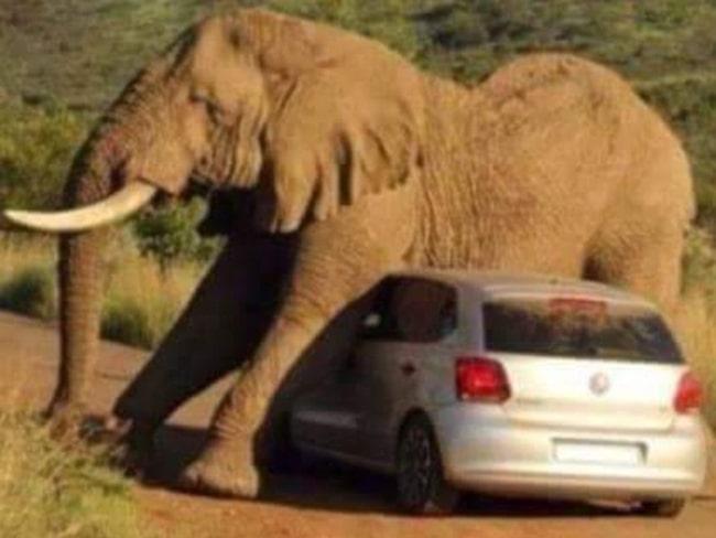 Känns skönt i magen – en elefant i en sydafrikansk nationalpark använder en gästande bil som magkliare.