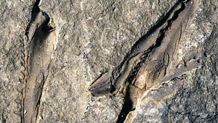 Fossilfyndet av maskens enorma käkar. David Rudkin Foto: Luke Parry