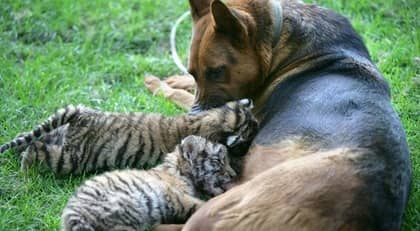 De två sibiriska tigrarna verkar trivas med sin nya mamma. Foto: Scanpix