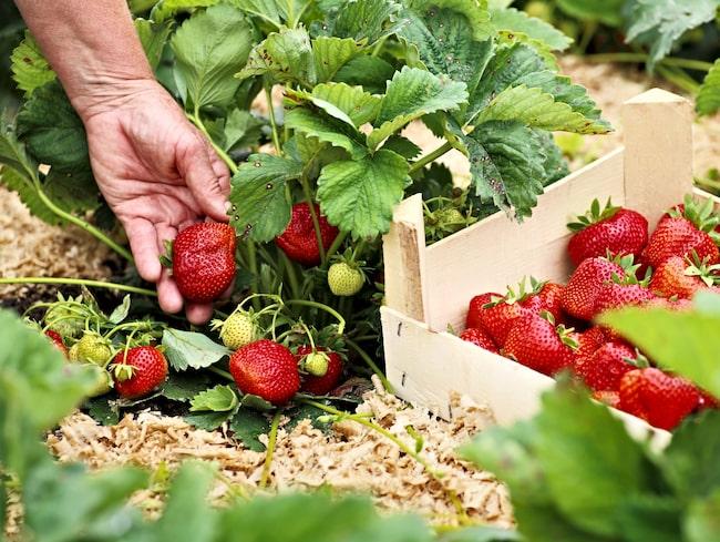 För många är jordgubbarna ett viktigt inslag under sommarmånaderna.