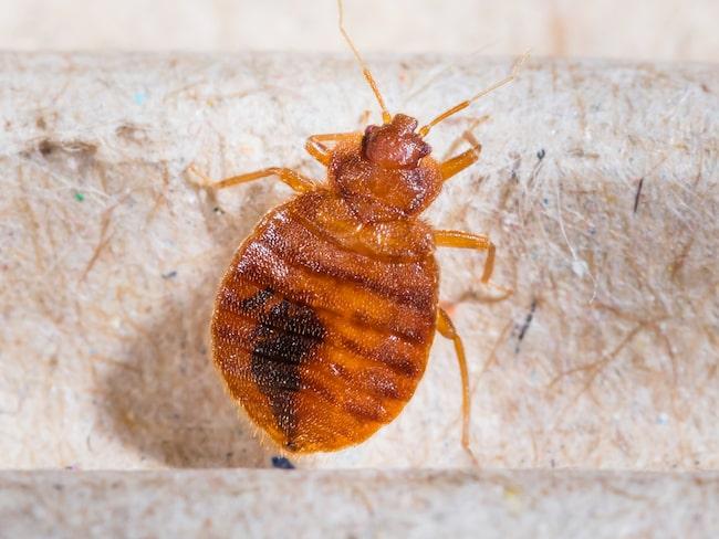 En ny rapport visar att vägglöss dras till smutsiga kläder. Smutstvätt som slängs på golvet i hotellrummet är därför ett säkert sätt att få med sig krypen hem.