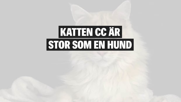"""Svenska katten är 1,3 meter lång: """"Han är som en hund"""""""