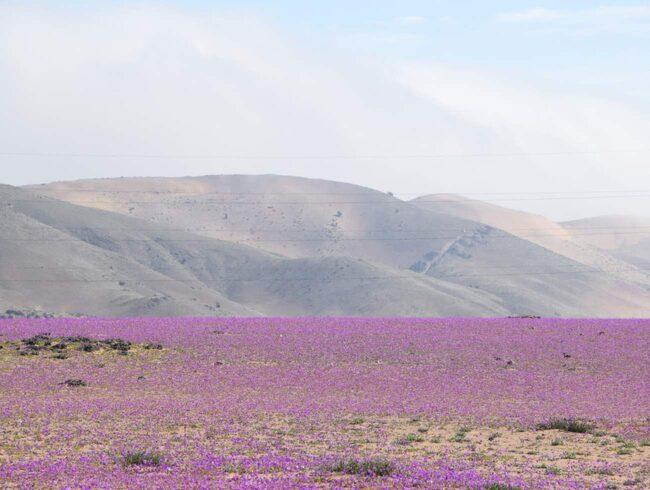 """<span>Malvablommorna som härdar ut i den torra öknen blommar normalt vart femte till sjunde år då El Niño för regn till regionen.</span> <span>FOTO:<a href=""""https://www.flickr.com/photos/tronchitron/18272488679/in/photolist-tQFhhg-hD8PjF-c7bYXN-u5NaUq-tb7Efy-u5NoX9-tQFyzM-tb7pES-tQxN7y-u5NoF7-u5NtJJ-u88VAc-u88U9p-tbhGs8-tQFCmp-tb7ES5-u7KZ3d-tQFcit-u5NfjC-tQx9mG-tb7yjA-u5NfXS-u8hJh8-u88x2p-tQwZws-tQwVYf-tbhrjH-u88Aq8-u88WBR-u88BPk-tb7yZ3-u8hySg-tb7mgY-u88Uuz-jV8HvU-jV6NcR-jV5VTe-jVaGpb-jV6QZp-jVaU7j-jV6kfA-jV6FeJ-8WUjK7-7ok88N-7ogedV-7pu493-7oLGT7-aSuFB8-7oLBby-7nzSiw"""" target=""""_blank""""> Juan Benavente Baghetti/Flickr</a></span>"""