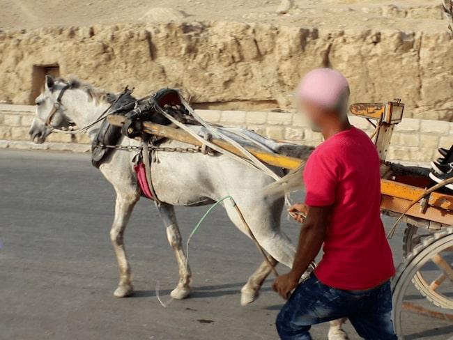 Undernärda och vanvårdade hästar får arbeta i stekande sol, utan vila eller vatten.