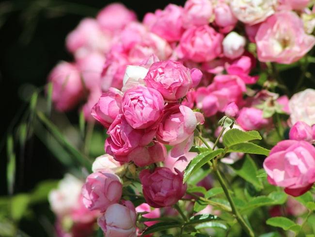 Älskar du också rosenbuskar!? Då ska du läsa om det magiska tricket.