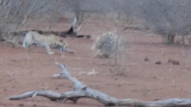 Leoparden är sugen på piggsvinsgott