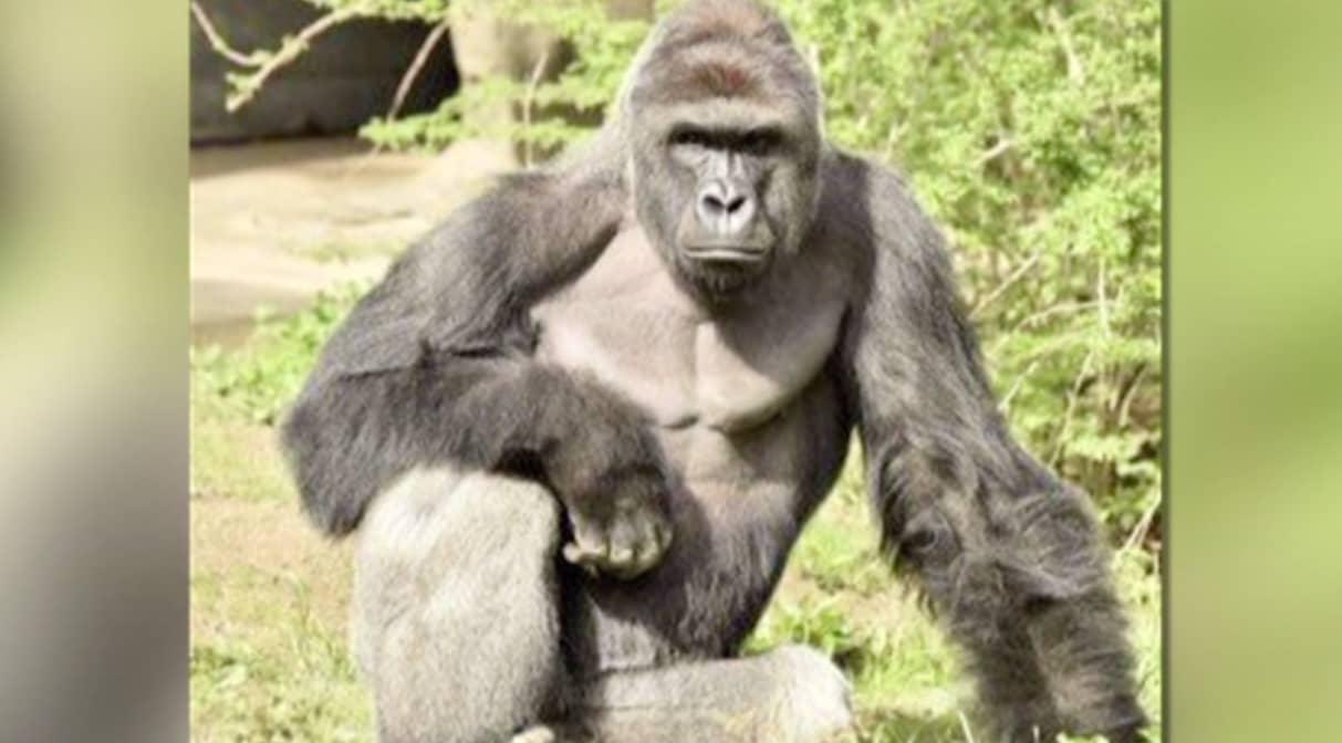 Gorillan sköts ihjäl för att rädda fyraåring – nu får pojkens föräldrar skulden